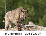 Bobcat Watching Prey