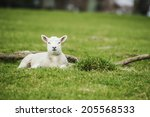 A Young Lamb Waits Calmly And...