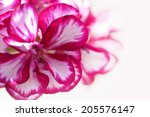purple petunia on white... | Shutterstock . vector #205576147