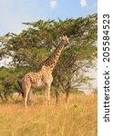 giraffe on the african plains ...   Shutterstock . vector #205584523