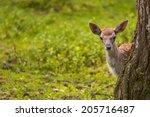 close up fallow deer in wild...   Shutterstock . vector #205716487