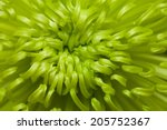 Green Chrysanthemum Center...