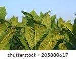 tobacco plantation  | Shutterstock . vector #205880617