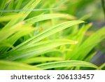 pandan leaf | Shutterstock . vector #206133457