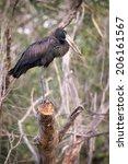 Small photo of African openbill stork, Zambia