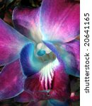 Singapore Orchid 2