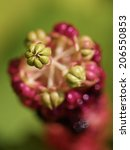 Small photo of Closeup of an American Pokeweed plant