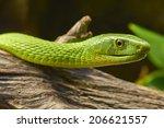 Постер, плакат: Green mamba snake Dendroaspis