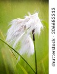 Small photo of common cottongrass (Eriophorum angustifolium)