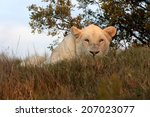Постер, плакат: A white lioness awaits