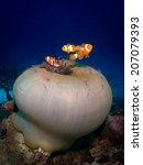 Tri Of The Anemone Fish  Nemo....