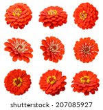 Assorted On Red Zinnia Flowers...
