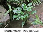 Small photo of Chinese Taro growth in water (Alocasia cucullata)