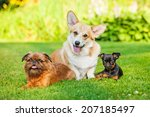 Stock photo three little dogs sitting outdoors pembroke welsh corgi petit brabancon puppy brussels griffon 207185497