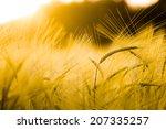barley field in golden glow of... | Shutterstock . vector #207335257