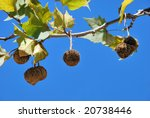 Plane Tree Fruits On A Branch...