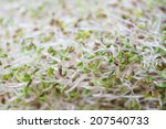 Small photo of alfalfa sprout