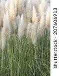 An Image Of Pampas Grass