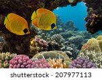 Masked Butterfly Fish And Cora...