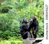 An Old Chimpanzee Interacting...