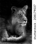 lion   Shutterstock . vector #208179037