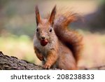 Cute Little Red Squirrel In Th...