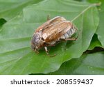 chafer  rhizotrogus marginipes  ... | Shutterstock . vector #208559437