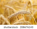 golden ears of wheat on the... | Shutterstock . vector #208676143