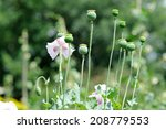 Green Poppy Heads In The Garden.