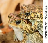 Small photo of African common toad Amietophrynus gutturalis mating