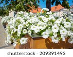 White Petunias On The Street