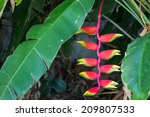 heliconia flowers hanging on... | Shutterstock . vector #209807533