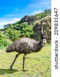 Australian Emu At Tower Hill...
