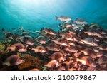 a school of black margate fish... | Shutterstock . vector #210079867