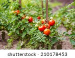 Ripe Tomatoes Growing On The...