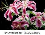 Pink Lilies In Garden On Dark...