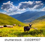 Flock Of Sheep And Goat In The...