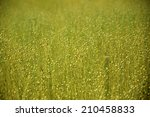 closeup of flax plants in a... | Shutterstock . vector #210458833
