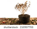 Dry Pepper Plant With Pepper O...