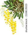 Yellow Orchid  Honey Fragrant...