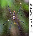 Golden Silk Orb Weaving Spider...