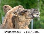 portrait of bactrian camel ... | Shutterstock . vector #211143583