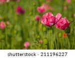 opium poppy  papaver somniferum  | Shutterstock . vector #211196227