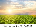 Small photo of tobacco field under blue sky