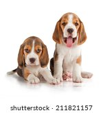 Cute Beagle Puppy  5 Week Old