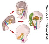 the system of pharyngeal or... | Shutterstock . vector #212203957