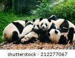 Group Of Cute Giant Panda Bear...