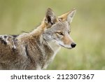 Small photo of An eastern coyote head shot.
