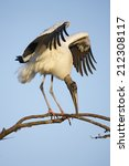 A Wood Stork With Its Wings Open