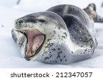 Leopard Seal  Hydrurga Leptony...